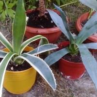 Moje agawy