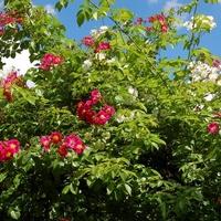 Róże różowe i białe