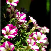 Surfinie różowo - białe