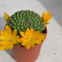 Tak kwitły moje kaktusy