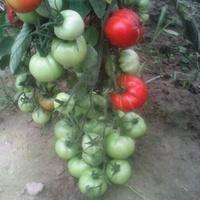 a tak mi obrodziły pomidorki w tym roku ;)