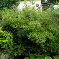 bambus,,,,,,,,