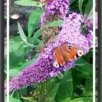 Budleja z motylkiem.