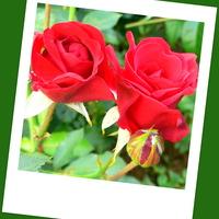 Czerwone róże dla miłych solenizantek!