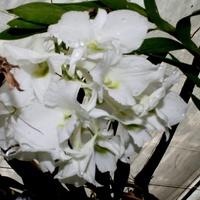 Dendrobium Sanderine var Luminica.
