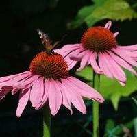 Echinacea - klasyk wśród jeżówek