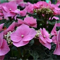 Hortensjowy róż ....