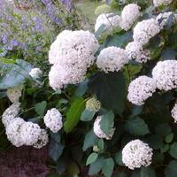 Moje białe hortensje