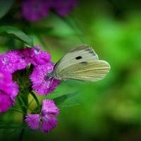 Motylek na goździku :-)