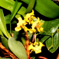 Oncidium Orthodes .