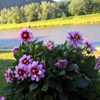 Kwiaty nad Popradem ...