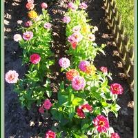Rabatka z kwiatami  cynii.