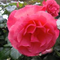 ...róża...