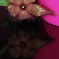 Stapelia, kwitnie kolejny już kwiat :)