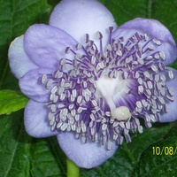 deinanthe carulea BLUE WONDER