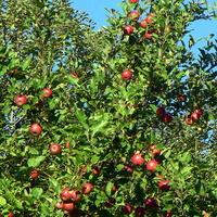 Dzikie jabłuszka
