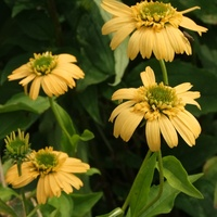 Echinacea -  Meteor Yellow