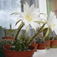 Echinopsis subdenudata,  kwitnie całe lato :)