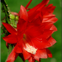 Epifilium dało 7 kwiatów :)