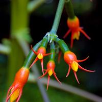 kwiat guranii