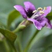 Kwiat jagody goji