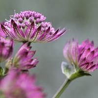 Kwiat jarzmianki