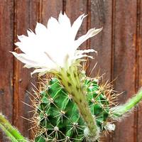 Mój największy kaktus zakwitł :)