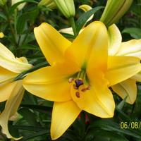 przedostatnia lilia
