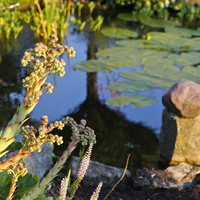 Rojnik ogrodowy - Sempervivum hybridum