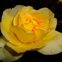 Roża  SONNESCHIRM .