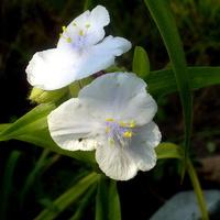 Biała kwitnie nadal..