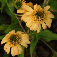 Echinacea - Pineapple Sundae