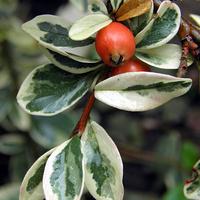 irgowe owoce