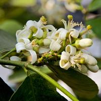 Kwiaty cytryny zwyczajnej
