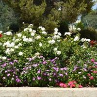 Kwiaty w okolicy Betlejem.
