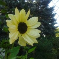 mini słoneczniczek:-)