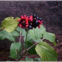 Owoce piwonii krymskiej...