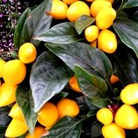 Owocki papryczki