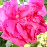 Róża Magna Charta .  Makro.