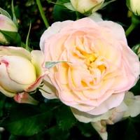 Róża Pastella - 'Tan98230' .  Makro.