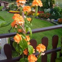 Crossandra pomarańczowa