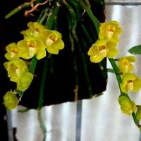 Dendrobium Delacourii.