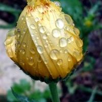 deszczowy nagietek