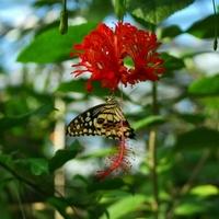 Hibiscus schizopetalus... z gościem:)*