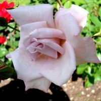 Róża  GRUSS an BERLIN .  Makro .