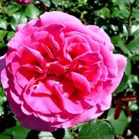 Róża  PRINCESS ALEXANDRA .  Makro .