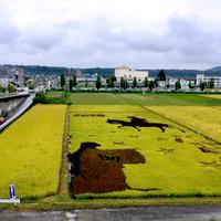 Ryżowe pola