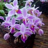 Phalaenopsis equestris .
