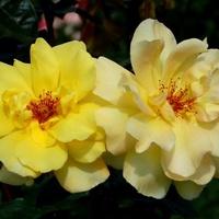 Żółte różyczki