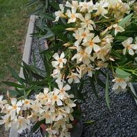 oleander kremowo - żółty